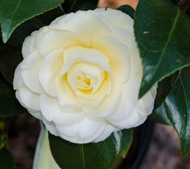 ACS Camellia Encyclopedia