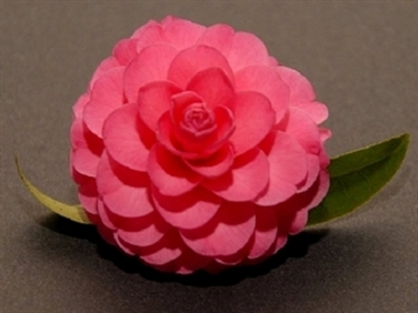 Camellias Beginning with A