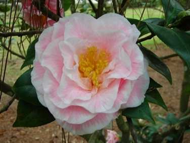 Camellias Beginning with B