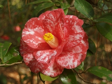 Camellias Beginning with D