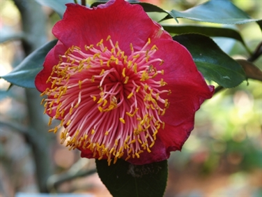 Camellias Beginning with H