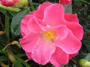 Camellias Beginning with I