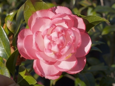 Camellias Beginning with J