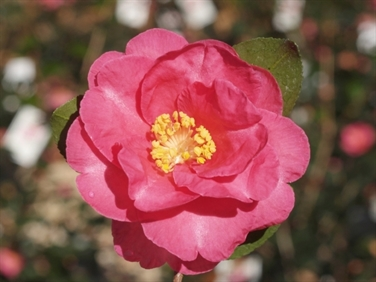 Camellias Beginning with K