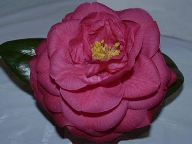 Camellias Beginning with M