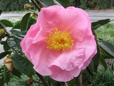 Camellias Beginning with Q