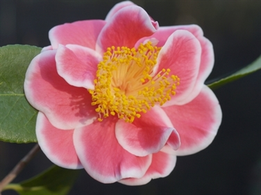 Camellias Beginning with T