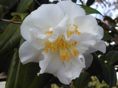 Camellias Beginning With X Y Or Z