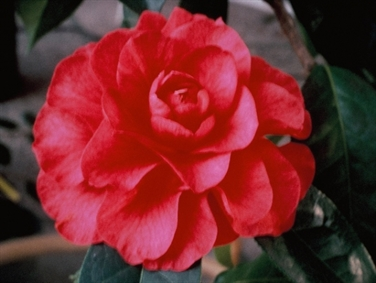 Oregon Camellia Clubs & Societies