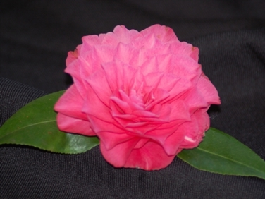 Virginia Camellia Clubs & Societies