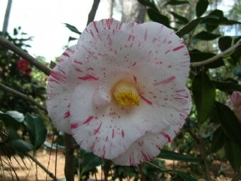 Camellia Varieties Registered in 2011