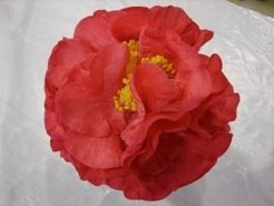 Camellia Varieties Registered in 2010