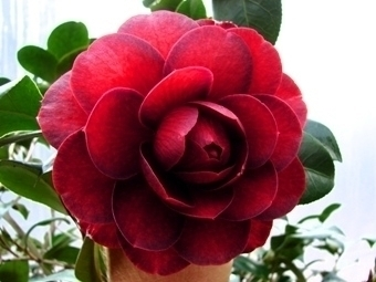 Camellia Varieties Registered in 2009