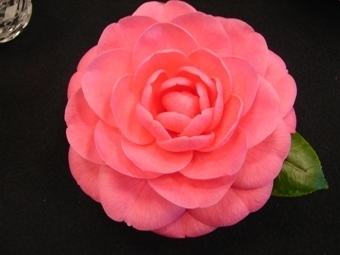 Camellia Varieties Registered in 2006