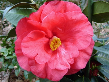 Camellia Varieties Registered in 2015