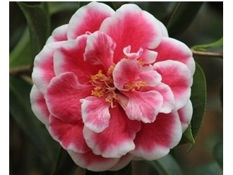 Camellia Varieties Registered in 2016