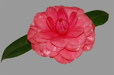 Camellia Varieties Registered in 1999