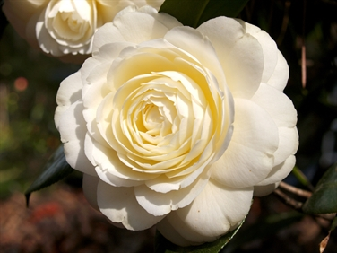 Camellia Varieties Registered in 1995