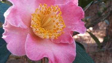 Camellia Varieties Registered in 1971