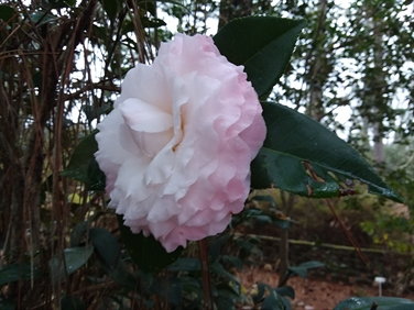 Camellia Varieties Registered in 1992