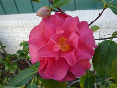 Camellia Varieties Registered in 1962