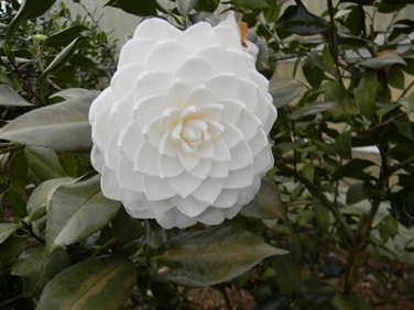 Camellia Varieties Registered in 1976
