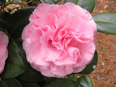 Camellia Varieties Registered in 1975