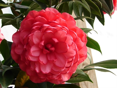 Camellia Varieties Registered in 1997