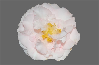 Camellia Varieties Registered in 1961