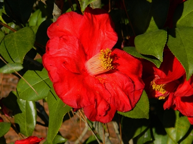 Camellia Varieties Registered in 1979