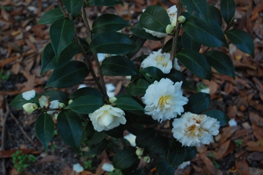 Camellia Varieties Registered in 1996