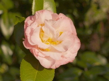 Camellia Varieties Registered in 1959