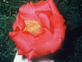 Camellia Varieties Registered in 1949