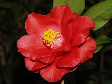 Camellia Varieties Registered in 1957