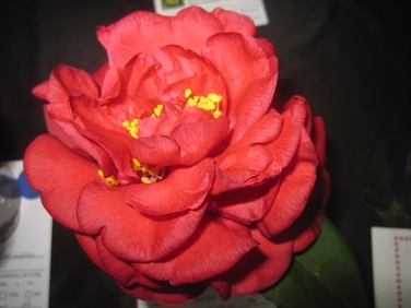 Camellia Varieties Registered in 1968
