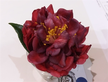 Camellia Varieties Registered in 1966