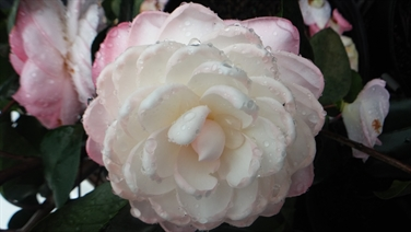 Camellia Varieties Registered in 1982