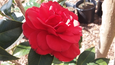 Camellia Varieties Registered in 1972
