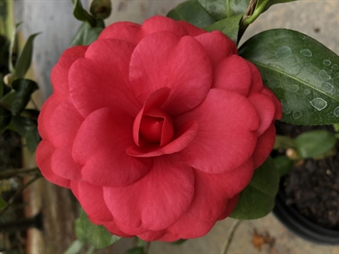 Camellia Varieties Registered in 2019