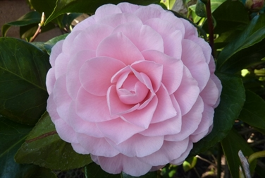 Camellia Varieties Registered in 1984