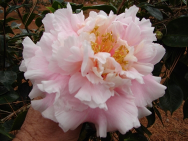 Camellia Varieties Registered in 1973