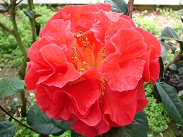 Camellia Varieties Registered in 1970