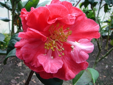 Camellia Varieties Registered in 1983