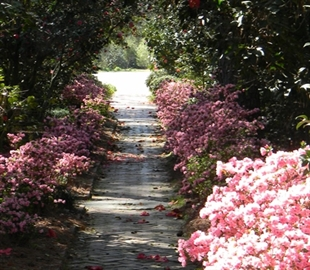 About American Camellia Society