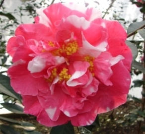 Education and Camellia Care
