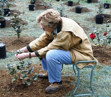 Planting Camellias