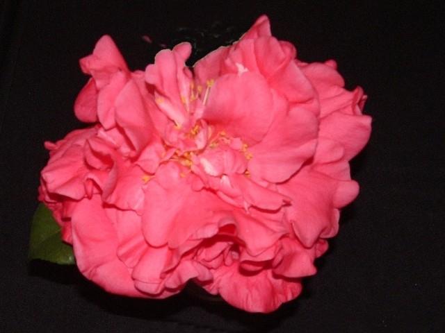 Lauren Tudor Pink