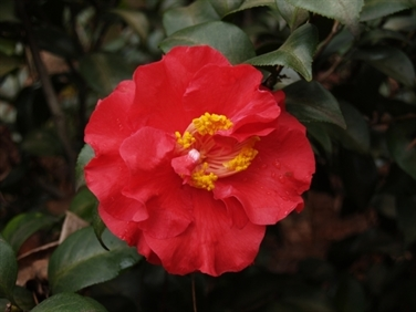 Camellia Cultivars Registered in 1956