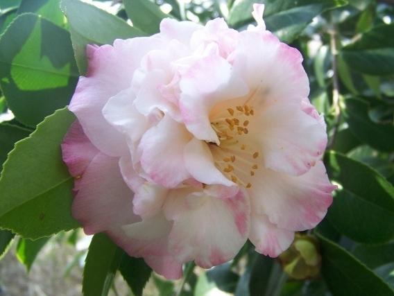 Gena Owens Fredrickson American Camellia Society