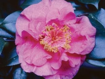 Camellia Cultivars Registered in 1951